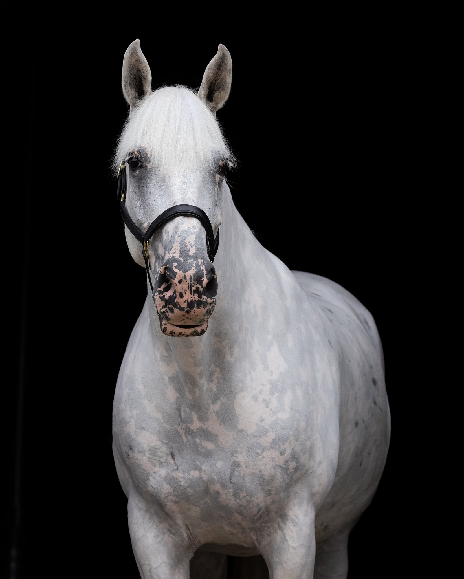 Grey Horse against a Black Background from Horse Photo shoot in Suffolk