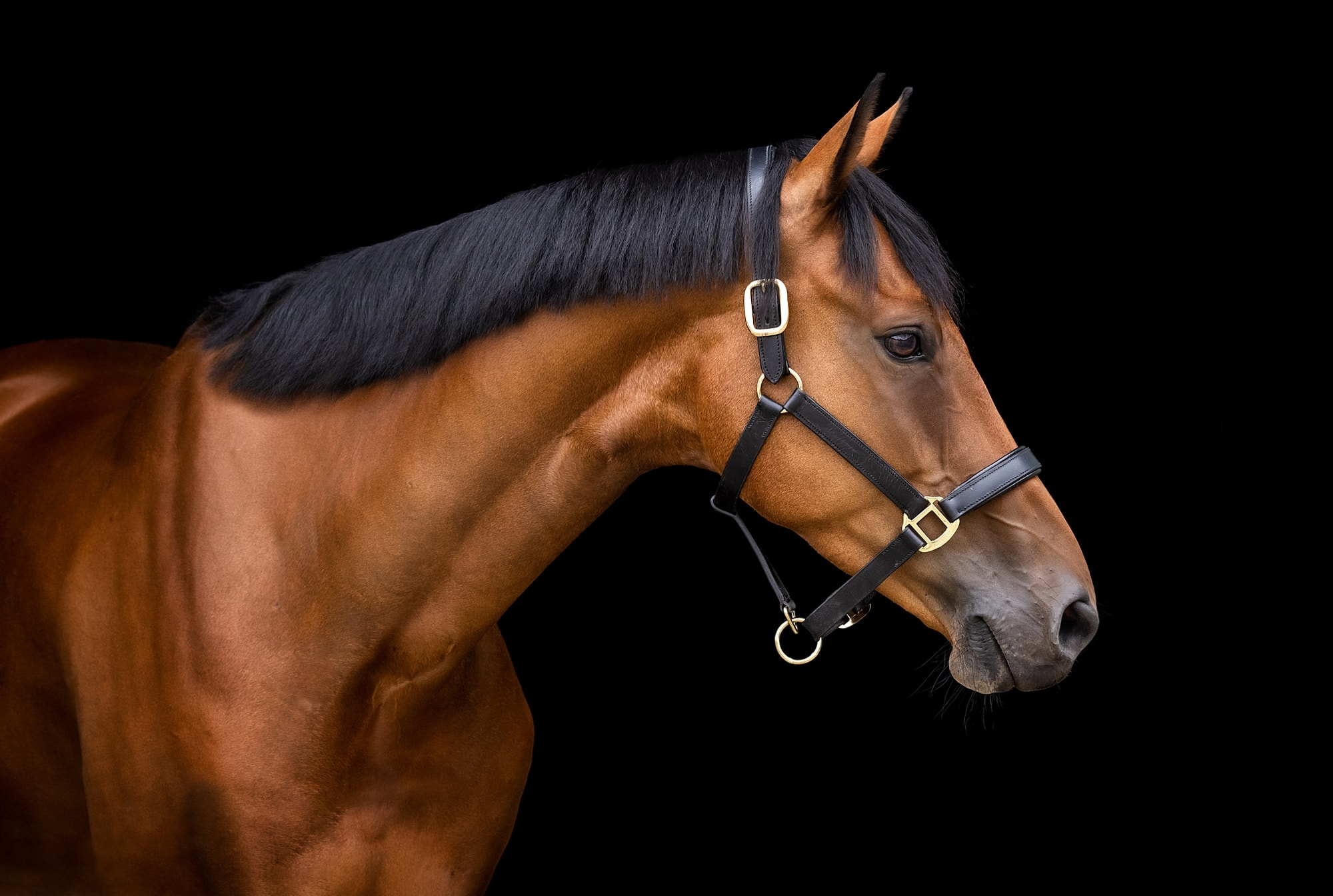 Profile of a beautiful Bay Horse against a black background in a Suffolk Barn
