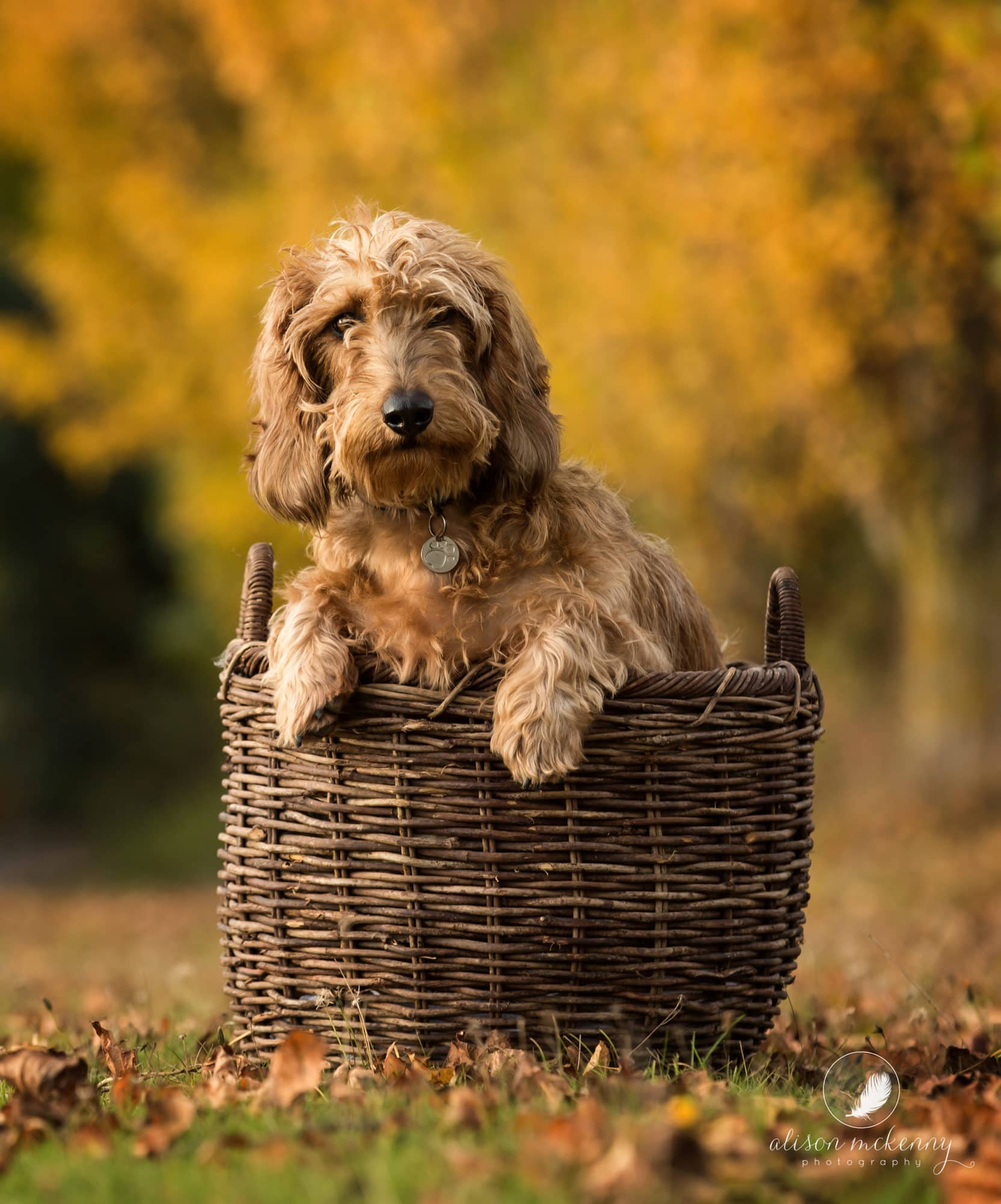 Dachshund sitting in a basket for a Pet Photoshoot in an Autumnal setting on Suffolk Farm